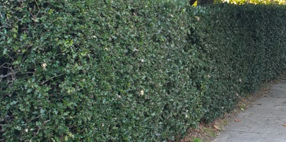 A hedge of English Holly